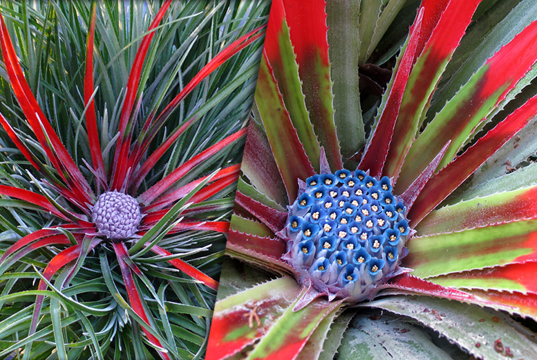 £14.99 instead of £25.98 (from You Garden) for a pair of Chilean Fascicularia plants - save 42%