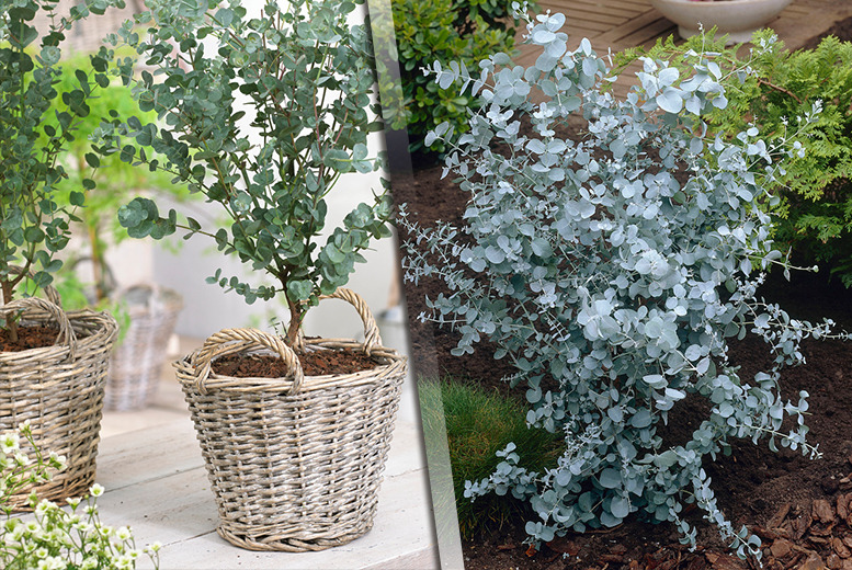 £24.99 instead of £49.99 (from You Garden) for a pair of eucalyptus 'Azura' trees - save a tree-mendous 50%