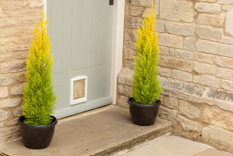 £17.99 instead of £36.97 (from You Garden) for a pair of golden scented cypress trees inc. 2 planter pots and a 50g bag of fertiliser - save 51%