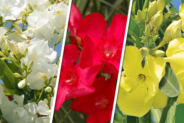 £19.98 instead of £39.95 (from You Garden) for 5x Mediterranean oleander plants - save a blooming wonderful 50%