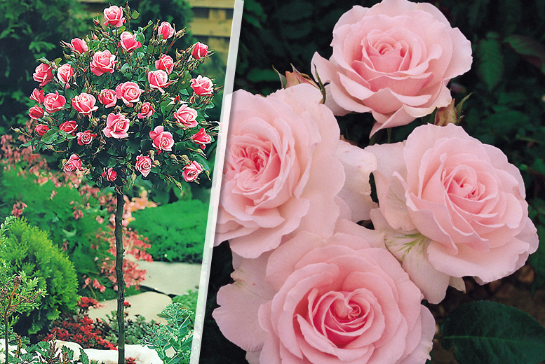 £24.99 instead of £39.98 (from You Garden) for a pair of standard-sized rose trees in a choice of 3 colours - save a rosy 37%