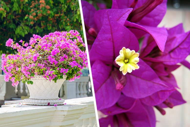 £19.99 instead of £39.98 (from You Garden) for a pair of Bougainvillea bushes - save a blossoming 50%