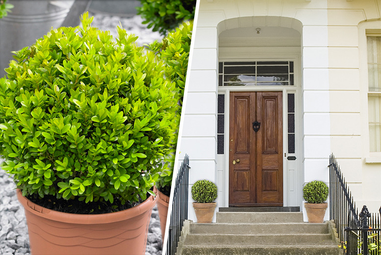 £22.99 instead of £39.99 (from You Garden) for two Buxus ball bushes - save 43%