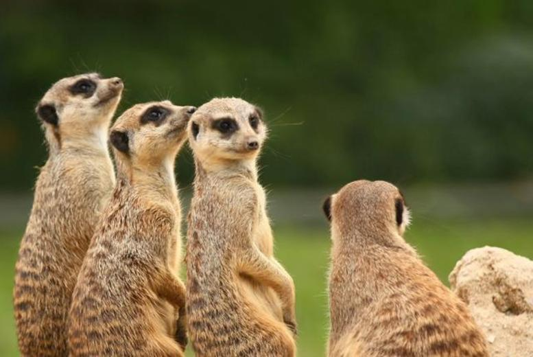 £39 instead of £99 for a 1-hour meerkat experience for 2 at Hoo Farm with Will's Wild Animal Encounters, Telford - save 61%