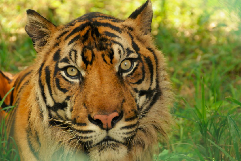£19 instead of £30 for a one-year 'adopt a tiger' pack from Born Free Foundation with cuddly toy, certificate, window sticker and more - save 37%