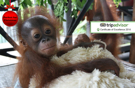 £799 instead of £1095 (from The Great Projects) for a 2-week all-inclusive Borneo orangutan, tribe & rainforest experience - save 27%