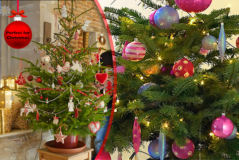 £34.99 (from You Garden) for a 4ft pot-grown living Norway Spruce Christmas tree!