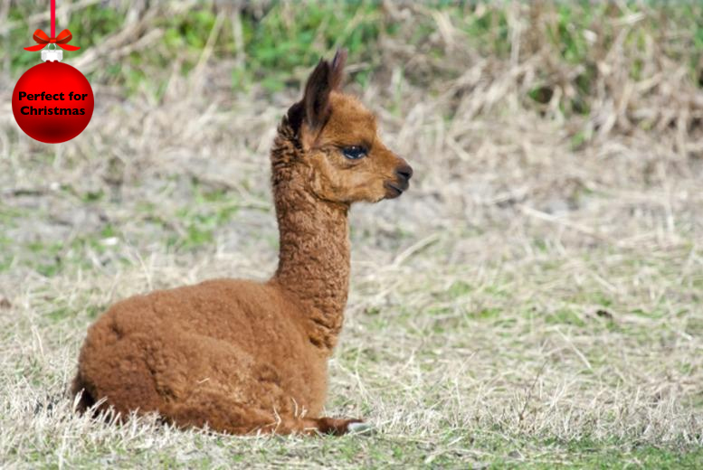 £24 instead of up to £50 for a 2½ hour alpaca trekking experience for 2 people at Alpaca Annie, Kent - save up to 52%
