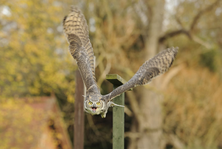 £19 for a three-hour American Raptor encounter for one person, £32 for two people at Herrings Green Activity Farm, Wilstead - save up to 79%