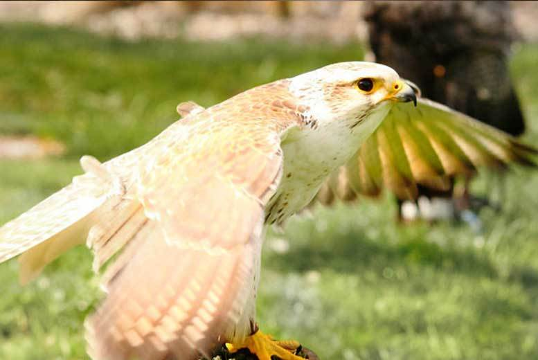 £29 for a half-day falconry experience for one, £56 for two people from West Sussex Falconry, Chichester - save up to 68%