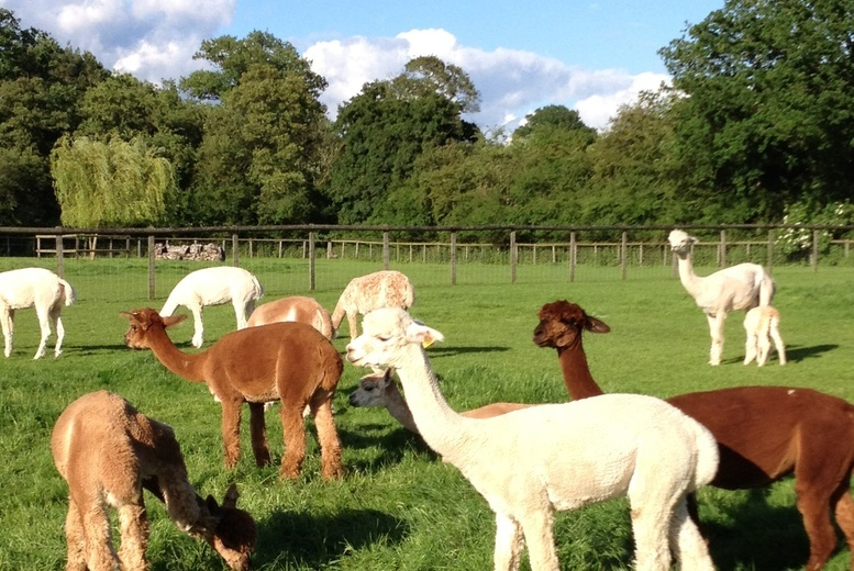 £25 instead of £50 for a two-hour alpaca experience for two people at Pennybridge Farm, Hampshire - meet the animals and save 50%