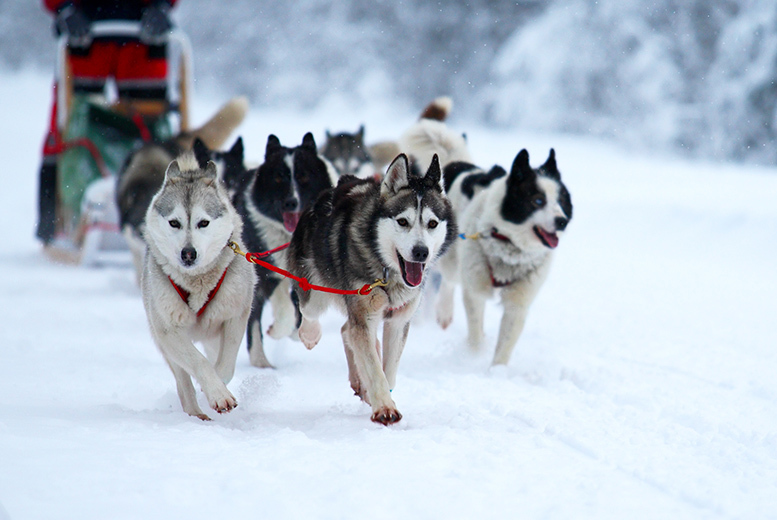 £49 instead of £170 for husky dog sledding for 2, £89 for 4, £129 for 6 or £169 for 8 at Run with the Pack, Blackburn - save up to 71%
