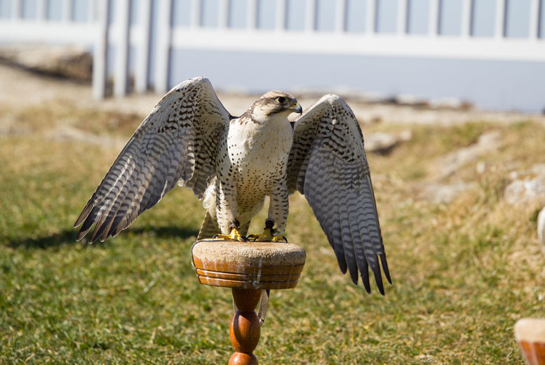 £14 for a half day falconry experience for 1 person, £27 for 2 people or £49 for 4 people at Gyrs International, Northumberland - save up to 69%