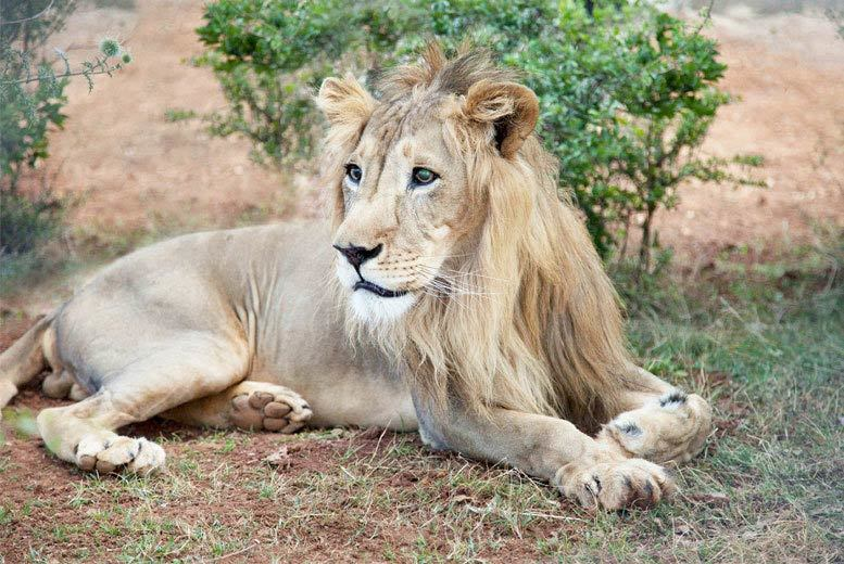 £19 instead of £30 for an 'adopt a lion' pack from Born Free Foundation - save 37%