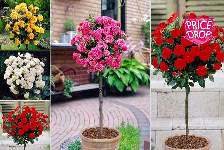 £16 instead of £34 (from Blooming Direct) for a set of four bare root patio rose bushes in four colours - save 53%