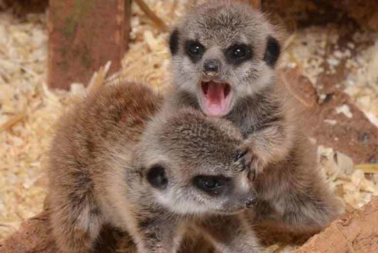 £49 for a 'Meet the Meerkats' experience for two at a choice of five locations from Buyagift!