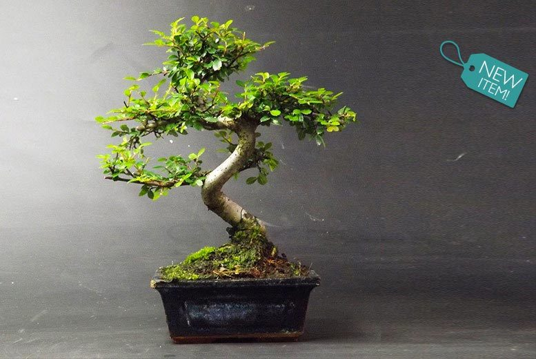 £14.99 instead of £79.99 (from Bonsai Design Shop) for a premium 25-30cm Chinese Elm Bonsai tree with a dark blue ceramic pot - save 81%