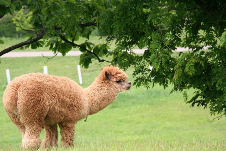 £18 instead of £35 for a 90-minute 'Walking with Alpacas' experience for 1 person, £35 for 2 at Charnwood Forest Alpacas, Loughborough - save up to 49%