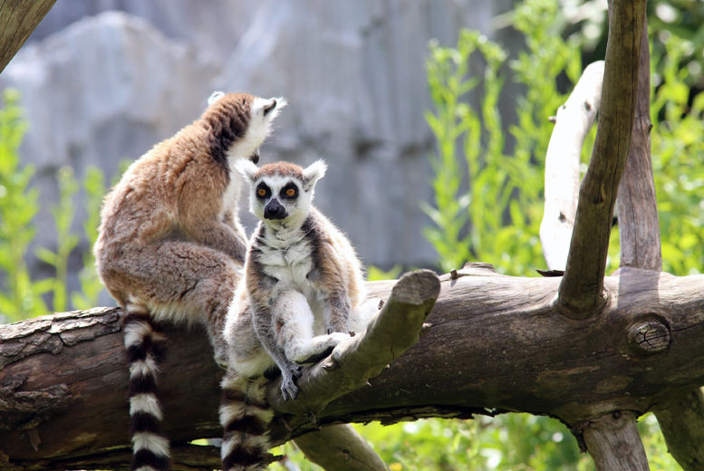 £39 for 2 tickets to a 'Meet the Lemurs' experience at Shaldon Zoo, Devon - save up to 56%