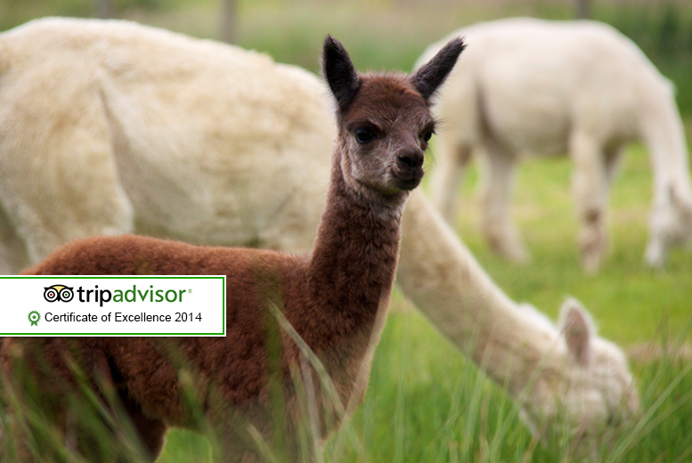 £7 instead of £14 for entry to The Alpaca Park for two adults or £11 for a family of up to 4, Devon - save up to 50%