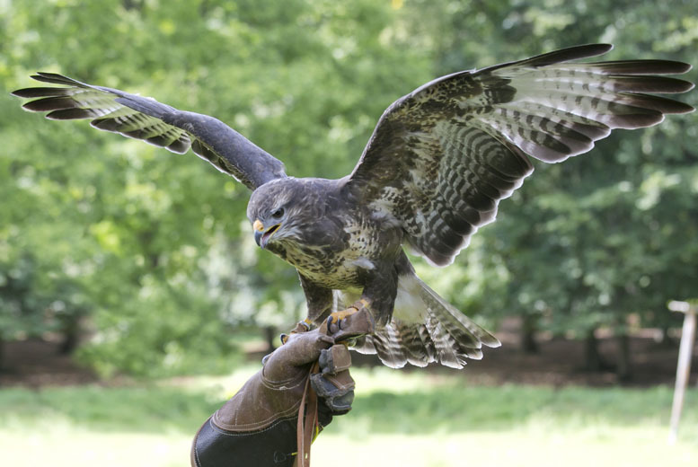 £19 instead of £50 for a 1-hour 'Hawk Walk' birds of prey experience for 1 person, or £29 for 2 at Stockley Farm, Cheshire - save up to 62%