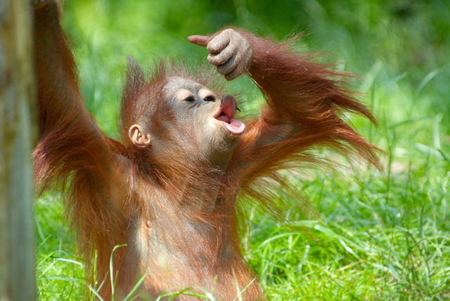 £769 instead of up to £1195 (from The Great Projects) for a 2wk all-inclusive Borneo orangutan, tribe & rainforest experience - save up to 36%
