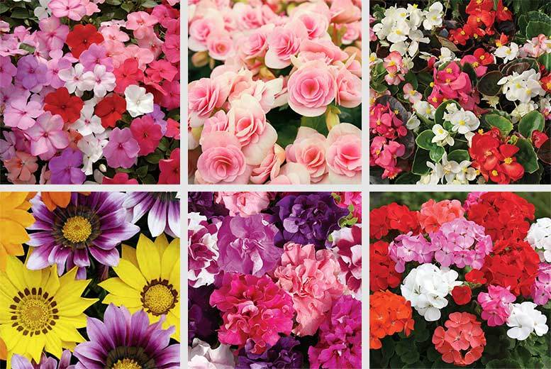 £9.99 instead of £39.99 (from Gardening Direct) for 170 Spring bedding plants, or £19.99 for 340 - save up to 75%