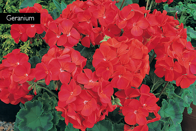 £12.99 instead of £25.97 (from You Garden) for a pack of 120 begonia, geranium and petunia bedding plants - save 50%