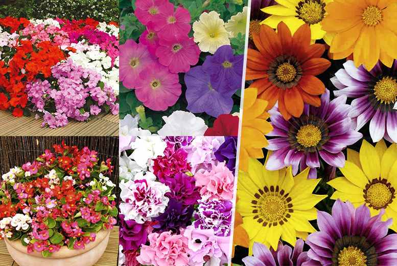 From £10.99 instead of up to £22.96 (from Dobies of Devon) for a pack of 135 bedding plants, £23.99 for 360 - save up to 52% + DELIVERY INCLUDED!
