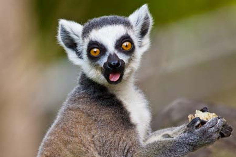 £51 instead of up to £89 for two tickets to a 'Meet the Lemurs' experience at two locations - save up to 43%