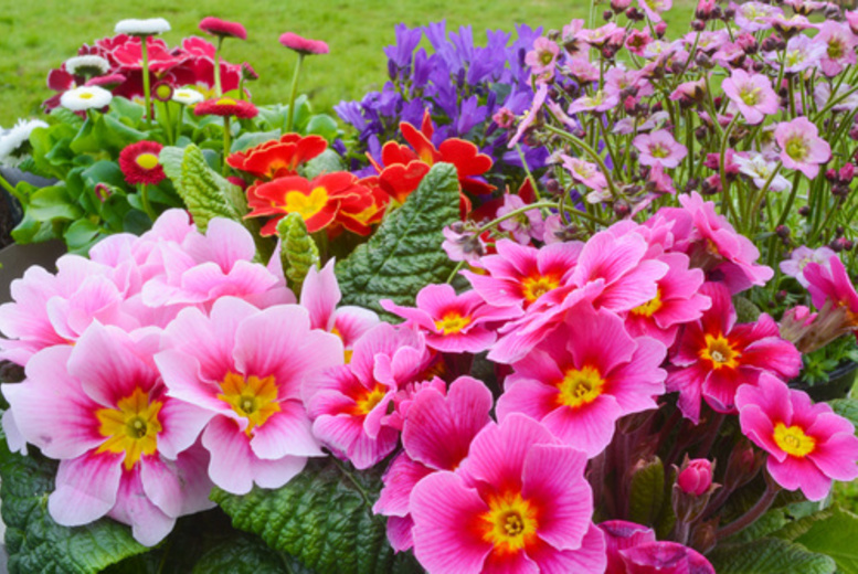 Image of From £12 for six or 12 (£21) perennial alpine outdoor flowers from Alfresco Style Ltd
