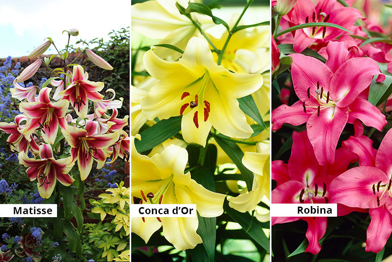 £9.99 instead of £14.99 (from Blooming Direct) for a jumbo 'skyscraper' lily collection - get five Conca d'or bulbs, five Robina bulbs and five Matisse bulbs and save 33%