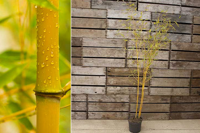 2 potted yellow spectabilis bamboo plants