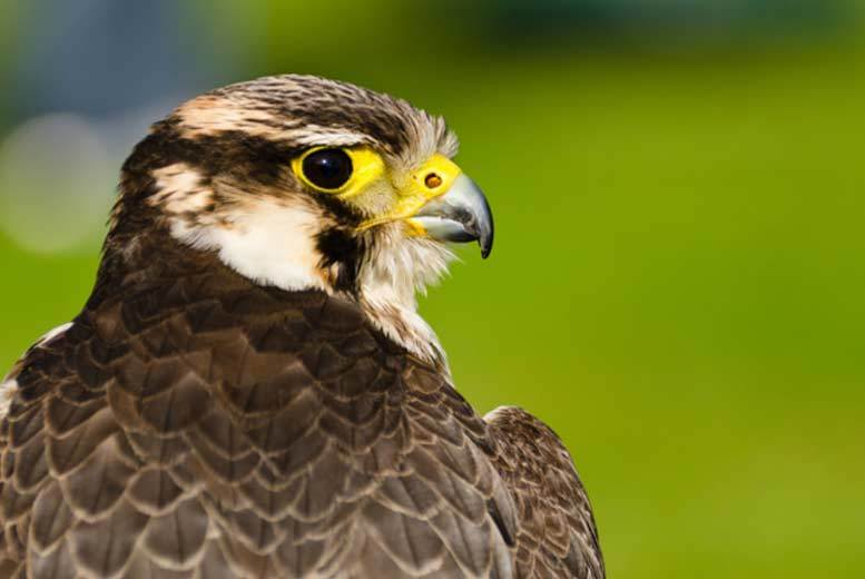 £24.50 for a three-hour bird of prey experience at one of four UK locations from Buyagift!