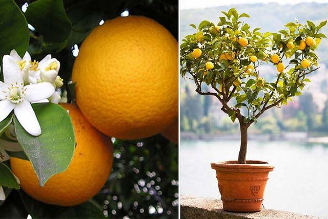 2 mediterranean citrus trees