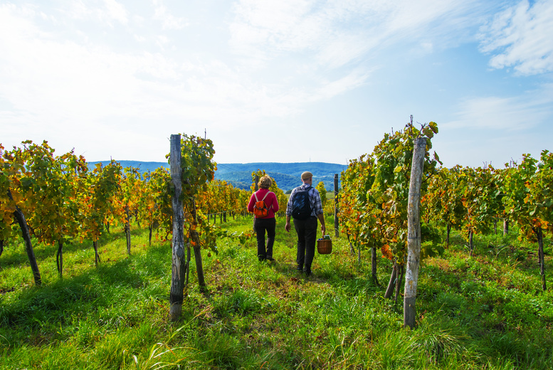 DDDeals - £9 for a self-guided tour of Kerry Vale Vineyard for one person with wine tasting plus tea and cake