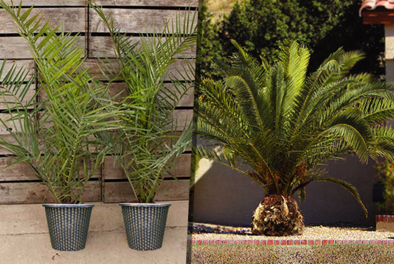 £26.99 instead of £49.98 (from You Garden) for two Canary Island palm trees and two five-litre, metallic-effect plant pots - save 46%