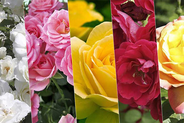 £12.99 instead of £38.99 (from Plant Store) for a variety of five different garden rose bushes - save 67%