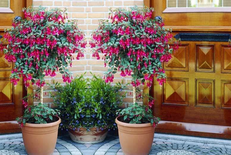 £19 instead of £57.99 (from Plant Store) for a pack of two fuchsia trees - save 67%