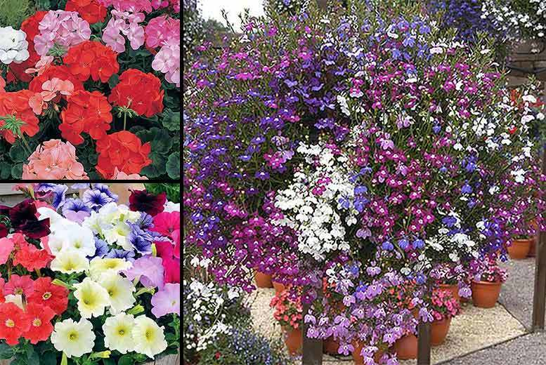 £12 instead of £31.96 (from Blooming Direct) for a complete bundle of 120 bedding plants - save 62%
