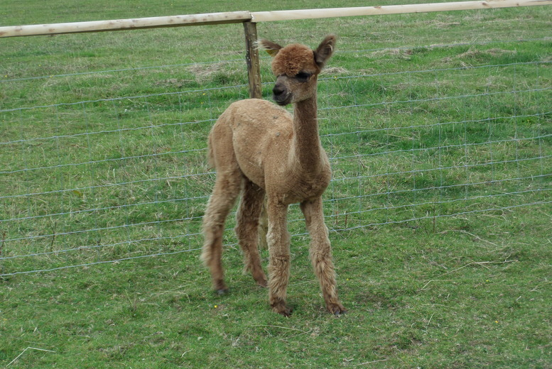 £9 instead of £20 for an 'Adopt an Alpaca' package, £25 with meet and greet option at Lucky Tails Alpacas, Atherstone - save up to 55%