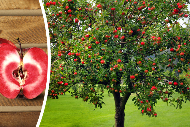 £9.99 instead of £24.99 (from Dobies of Devon) for a Redlove Era apple tree - grow your own and save 60%