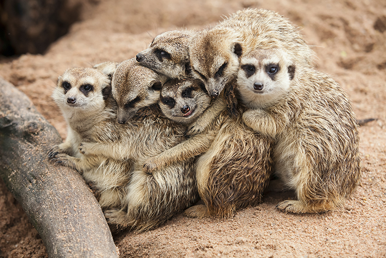 £19 for a 1-hour 'meet the meerkats' experience and farm entry for one person, or £34 for two people at Willow Tree Family Farm, Mansfield