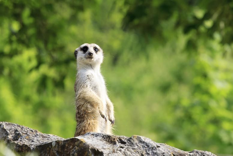 £89 for a two-hour raccoon dog and meerkat experience for two people from Buyagift, Eltham