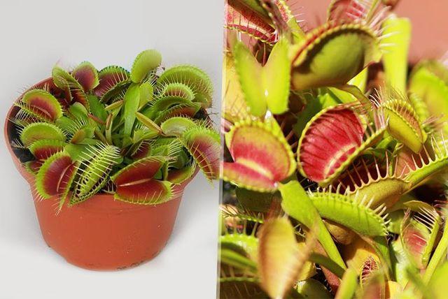 2 venus flytrap plants