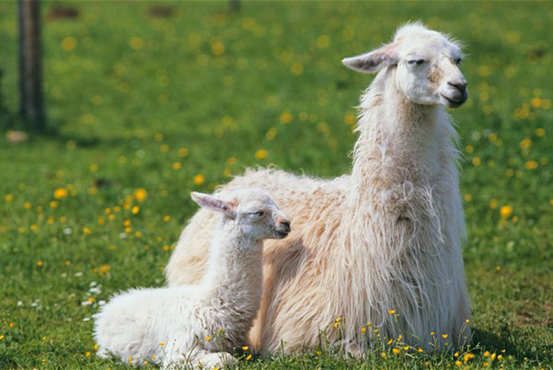 £44 instead of up to £69 for a llama experience and cream tea for two at Peak Hill Llamas, Devon from Activity Superstore - save up to 36%