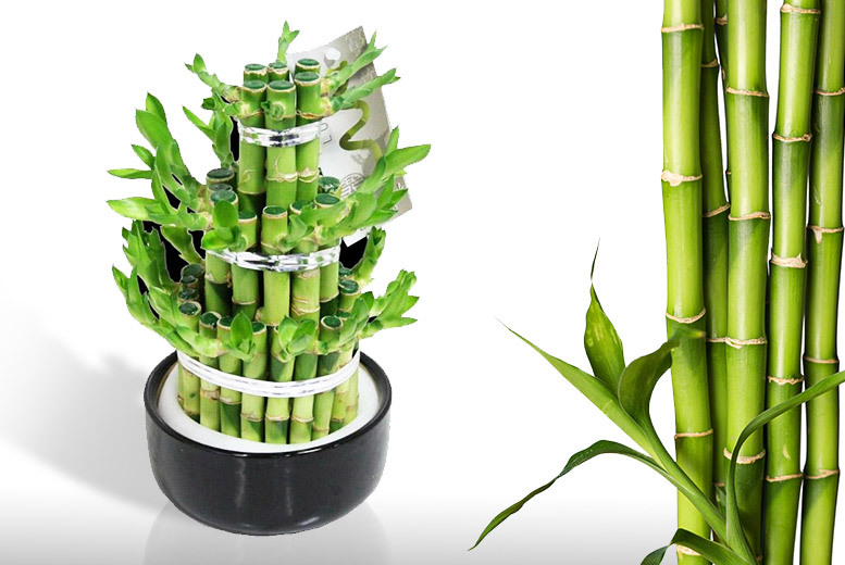 Lucky Bamboo Carousel in Ceramic Pot from £16.99