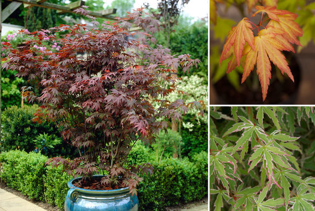 Japanese maple acer trees