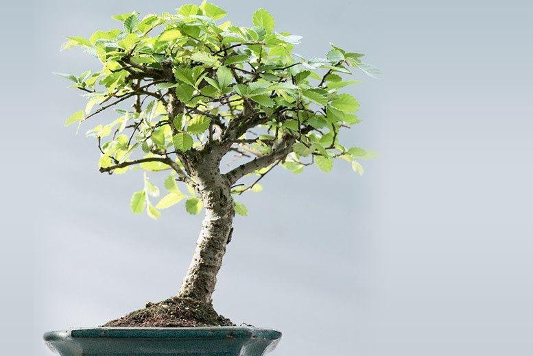 Premium Chinese Bonsai Tree from £12