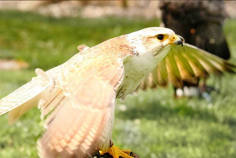 Portsmouth: Half-Day Falconry Experience for 1 or 2 from £29